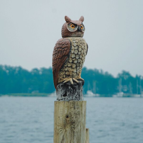 Great Horned Owl With Moving Head